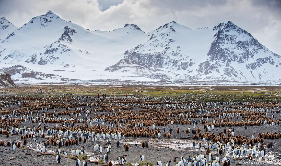 King Penguin Colony (Aptenodytes patagonicus), Salisbury Plain, South Georgia