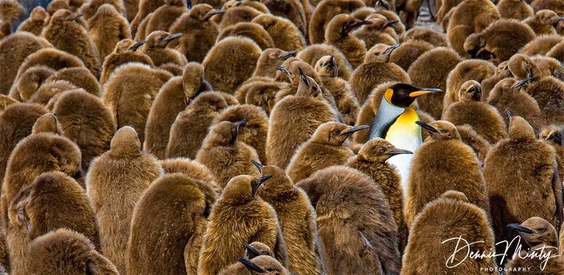 Alone in a Crowd, King Penguins, South Georgia