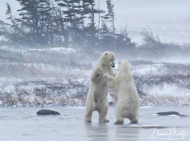 Sparring Polar Bears (Ursus maritimus), Churchill, Manitoba, Canada