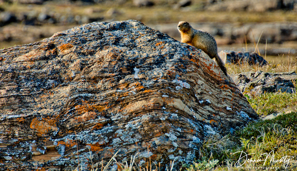 Arctic Ground Squirrel, Port Epworth