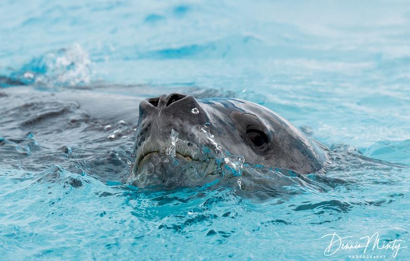 Leopard Seal  (Hydrurga leptonyx), Cuverville Island, Antarctica