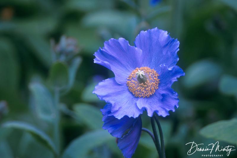 Blue Poppy (Meconopsis grandis), Vancouver, British Columbia, Canada
