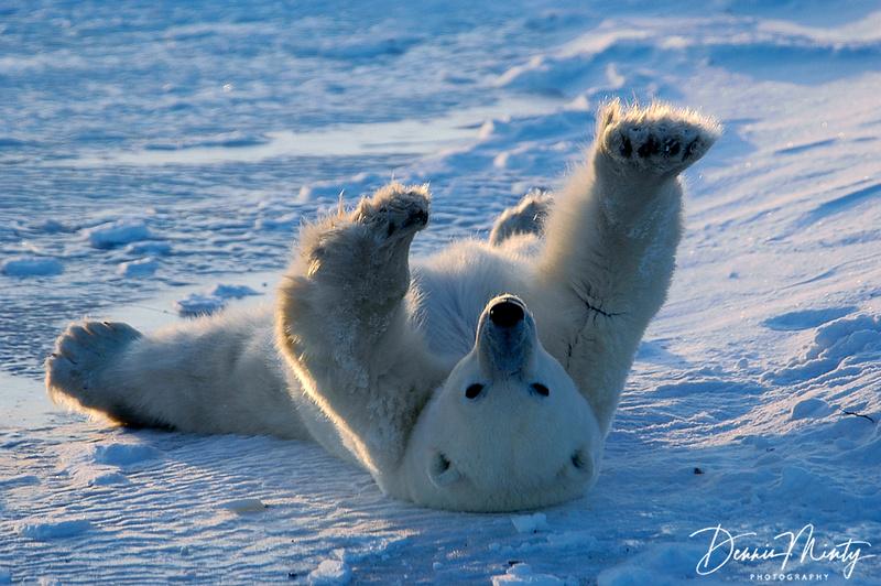 Polar Bear (Ursus maritimus) Waking Up, Churchill, Manitoba, Canada