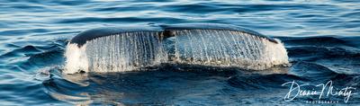 Humpback Whale, Southwest Newfoundland